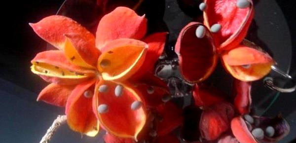 Frucht, die einer Hand oder geschlossenen Faust ähnelt